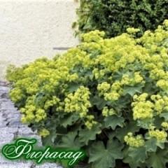 Алхемілла м'яка Робустіка (Alchemilla mollis Robustica) (1 рослина)