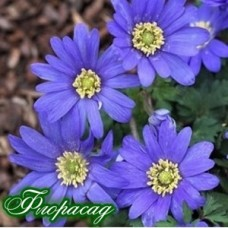 Анемона Blanda Blue Shades (5 цибулин)