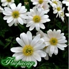 Анемона Blanda White Splendour (3 цибулини)
