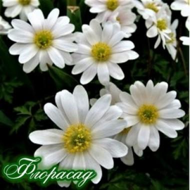 Анемона Blanda White Splendour (3 цибулини) опис, характеристики, відгуки