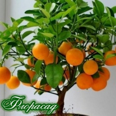 Апельсин комнатный Washington navel (Вашингтон Навел) (1 саженец) описание, отзывы, характеристики