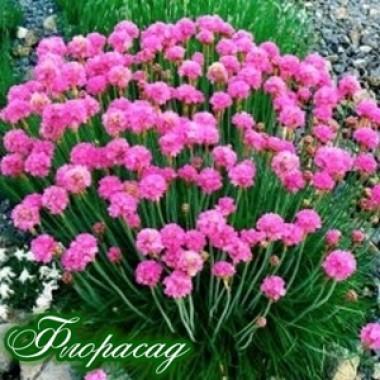 Армерия Приморская розовая Armeria maritima описание, отзывы, характеристики