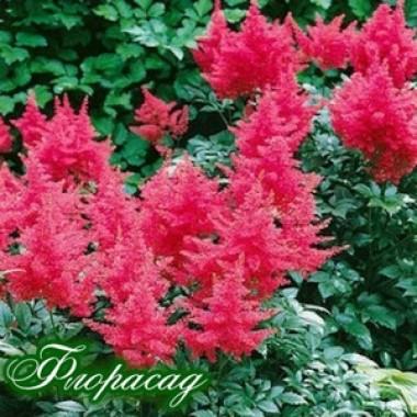 Астильба Bressingham Beauty  (1 растение)  описание, отзывы, характеристики
