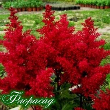 Астильба Etna  (1 растение)  описание, отзывы, характеристики