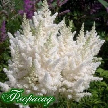 Астильба Weisse Gloria  (1 рослина) опис, характеристики, відгуки
