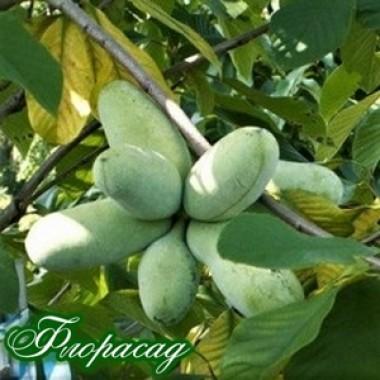Азіміна трилоба Пао-Пао (бананове дерево) (1 саджанець) опис, характеристики, відгуки