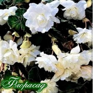 Бегония ампельная с гигантскими цветками белая (1 клубень) описание, отзывы, характеристики