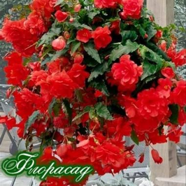 Бегония ампельная с гигантскими цветками красная (1 клубень) описание, отзывы, характеристики
