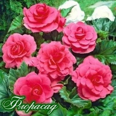 Бегония махровая розовая (1 клубень) описание, отзывы, характеристики