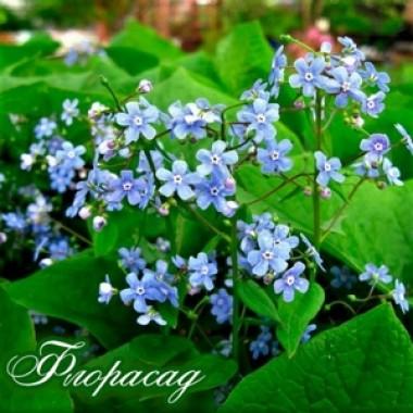Брунера сибірська (1 рослина) опис, характеристики, відгуки