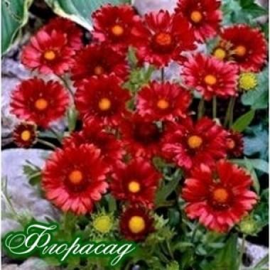 Гайлардія Sun.Celebration (1 рослина) опис, характеристики, відгуки