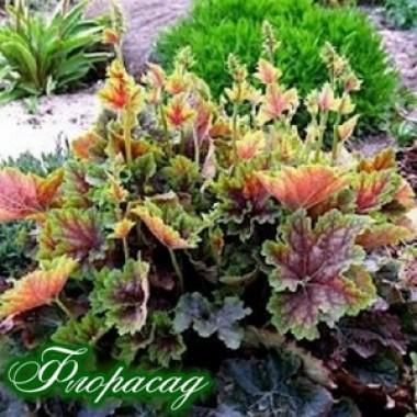 Гейхера Beauty color описание, отзывы, характеристики