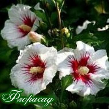 Гибискус травянистый Carousel Jolly Heart (1 саженец) описание, отзывы, характеристики