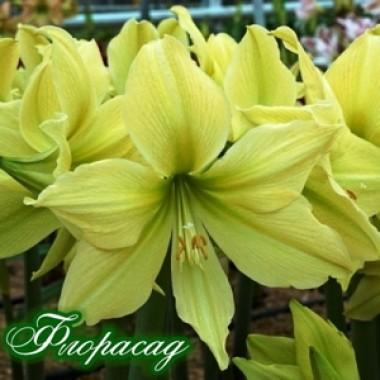 Гіпеаструм Amaryllis Yellow Star (1 цибулина) опис, характеристики, відгуки