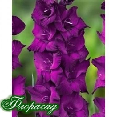 Гладіолус великоквітковий Astarte (5 цибулин) опис, характеристики, відгуки