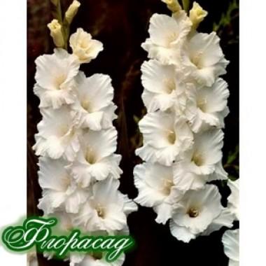 Гладиолус крупноцветковый Bangla Desh (5 луковиц) описание, отзывы, характеристики