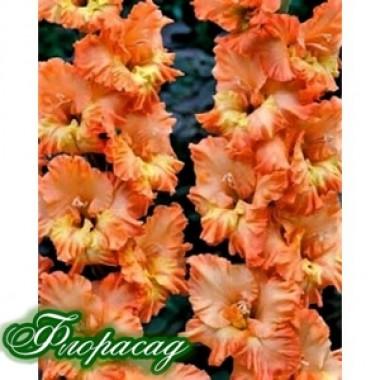 Гладиолус крупноцветковый Flame (5 луковиц) описание, отзывы, характеристики