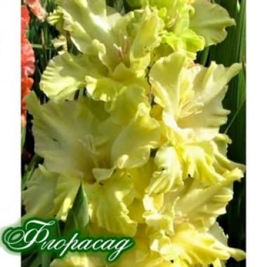Гладиолус крупноцветковый  Lemon Tree (5 луковиц) описание, отзывы, характеристики