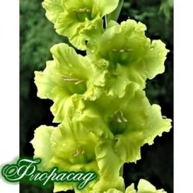 Гладіолус великоквітковий Lightgreen (5 цибулин) опис, характеристики, відгуки