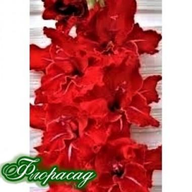 Гладиолус крупноцветковый Rossini (5 луковиц) описание, отзывы, характеристики