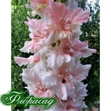 Гладиолус крупноцветковый Sisi (5 луковиц) описание, отзывы, характеристики