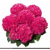Гортензия древовидная крупнолистовая Curly Hot Pink (1 саженец) описание, отзывы, характеристики