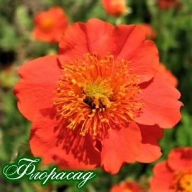 Гравілат гібридний Fire Opal (Фаєр Опал) (1 рослина) опис, характеристики, відгуки