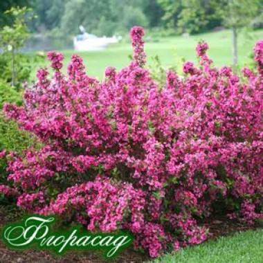 Вейгела florida Pink Princess описание, отзывы, характеристики