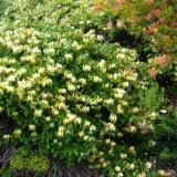 Жимолость декоративная Aureoreticulata (1 саженец) описание, отзывы, характеристики