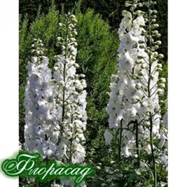 Дельфиниум гибридный Galahad (1 растение) описание, отзывы, характеристики