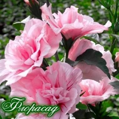 Гибискус сирийский Пинк Чиффон Hibiscus syr. Pink Chiffon описание, отзывы, характеристики