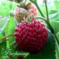 Полуниця-Малініка Framberry (5 садж.і)