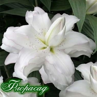 Лілія махрова Lotus Beauty (1 цибул.) опис, характеристики, відгуки