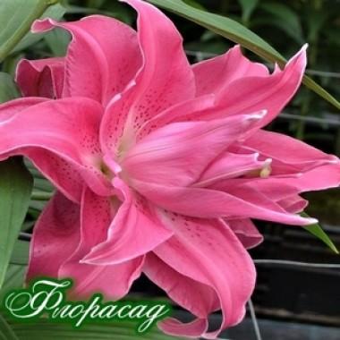 Лилия махровая Lotus Dream (1 луков.) описание, отзывы, характеристики