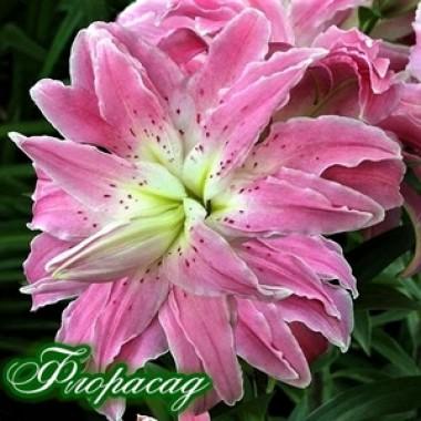Лілія махрова Lotus Elegance (1 цибул.) опис, характеристики, відгуки