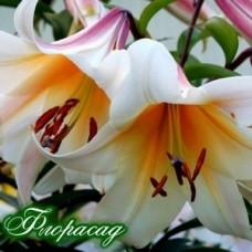 Лилия О.Т. гибрид Garden Affaire (1 луков.)
