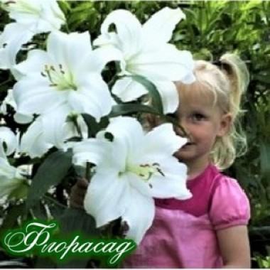 Лилия ориентальная Casa Blanca (1 луков.) описание, отзывы, характеристики