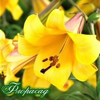 Лилия трубчатая Golden Splendour (1 луковица) описание, отзывы, характеристики