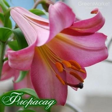 Лілія трубчата Pink Perfection (1 цибул.) опис, характеристики, відгуки