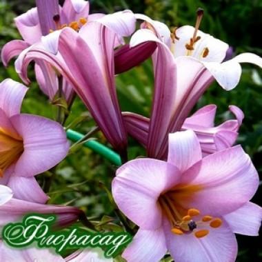 Лилия трубчатая Pink Planet (1 луков.) описание, отзывы, характеристики