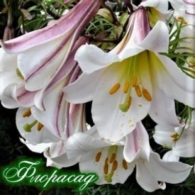 Лилия трубчатая Regale (1 луковица) описание, отзывы, характеристики