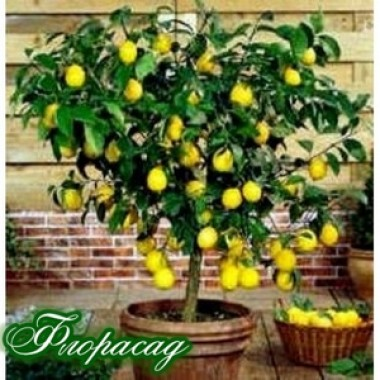 Лимон комнатный Эврика (1 саженец) описание, отзывы, характеристики