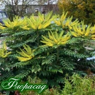 Магония японская Mahonia japonica (1 саженец) описание, отзывы, характеристики