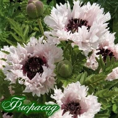 Мак многолетний Мак многолетний Miss Piggy  (1 растение) описание, отзывы, характеристики