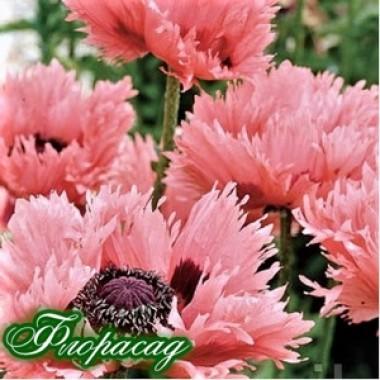 Мак многолетний Мак многолетний Pink Ruffles  (1 растение) описание, отзывы, характеристики