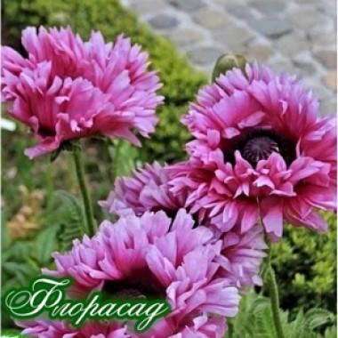Мак багаторічний Ruffled Patty (1 рослина) опис, характеристики, відгуки