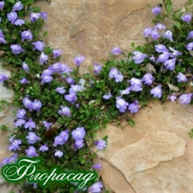 Мазус Purple (1 саженец) описание, отзывы, характеристики