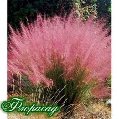 Мюленбергия Capillaris  (1 растение)  описание, отзывы, характеристики