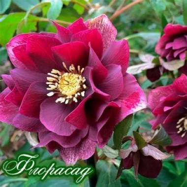 Морозник махровый Hybrids Red  Promise (1 растение) описание, отзывы, характеристики