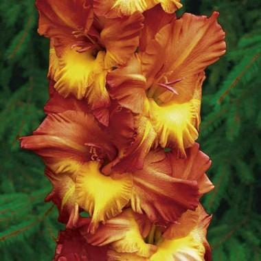 Гладиолус крупноцветковый Triton (5 луковицы) описание, отзывы, характеристики